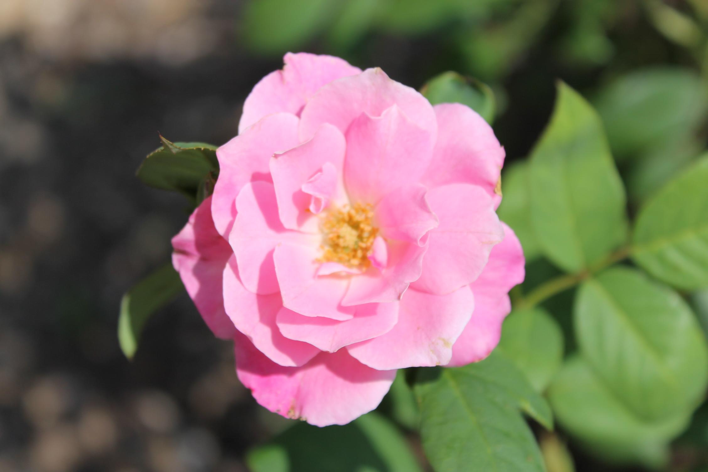 from Shanna Morrison Memorial Rose Garden